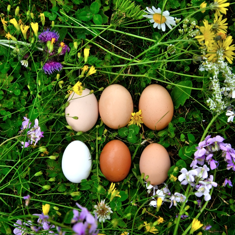 Free range eggs from the pastured reared hens for The Alpine Kitchen at Chalet Cannelle